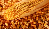 Corn ethanol already reinforces the offer in the off season